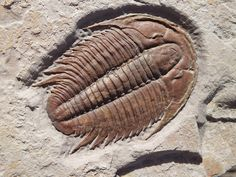 Trilobite - Modocia typicalis | ©striata Locality: Marjum Formation, in Delta, Utah, US. Age: Middle Cambrian, about 500 million years old. Classification: Animalia - Arthropoda - Trilobita - Ptychopariida - Marjumiidae - Modocia - M. typicalis