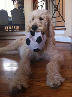 Soccer Ball Harry Howard the Labradoodle