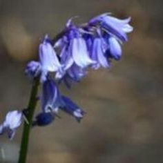 English Bluebell is a sweet flower to have in your spring garden.  It has beautiful blue flowers that hang in clusters from arching stems.  These plants like full sun or shade and moist, well draining soil.  Honey bees collect  nectar and blue pollen from the flowers.