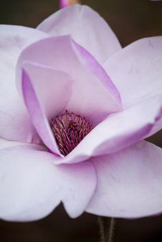 Magnolia 'Atlas' Photo by Rachel Warne, Gardens Illustrated