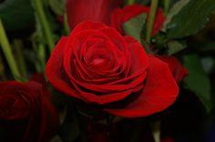 rosa roja DFC.