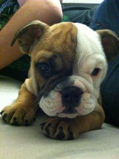 Adorable Bulldog pup!