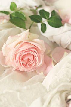 soft faded rose