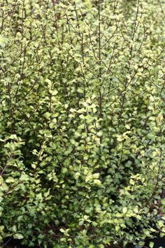 Image result for Pittosporum Harley Botanica Fast Growing Evergreens, Screen Plants, Backyard Plants, Plant Catalogs, Sun And Water, Side Garden, Evergreen Shrubs, Hedges, Deep Purple