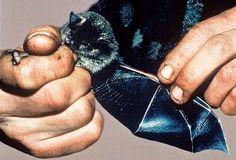 Большой футлярокрыл (Mystacina robusta), Новая Зеландия. Один из двух эндемичных видов летучих мышей архипелага, ставший, судя по всему, жертвой инвазивных хищников. Не наблюдался с 1967 года.