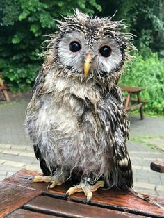 A mad scientist owl ! Beautiful Owl, Animals Beautiful, Cute Animals, Owl Photos, Owl Pictures, Funny Pictures, Owl Bird, Pet Birds, Funny Owls