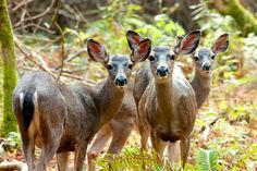 Black tail deer at Big Basin State Park... waiting for me to show up!