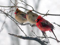 Cardinals in winter All Birds, Little Birds, Love Birds, Beautiful Birds, Animals Beautiful, Cute Animals, Cardinal Pictures, Cardinal Birds, Colorful Birds