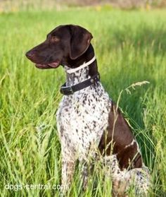 Google Image Result for http://dogbreedtrainings.com/wp-content/uploads/2012/01/German-Shorthaired-Pointer-puppies-6.jpg