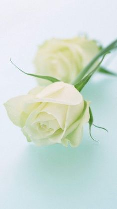Beautiful Roses Bouquet, Beautiful Flowers Wallpapers, Beautiful Rose Flowers, Beautiful Wallpaper, White Rose Plant, White Rose Flower, Green Flowers, Yellow Roses, Rose Gold