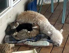 This Alpaca was raised with these kittens.....how sweet