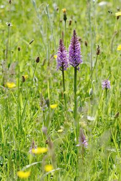 Common Spotted-orchid: Dactylorhiza fuchsii in situ Flowers Nature, Wild Flowers, Beautiful Flowers, Orchid Flowers, Beautiful Scenery, Meadow Garden, Ways To Show Love, Rose Cottage, Gras