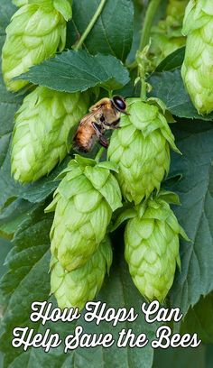 How Hops Can Help Save the Bees from Colony Collapse Disorder | Hop cones or flowers are unique and beautiful additions to your garden, helpful to bees, and a plant you won't want to miss especially if you take care of your own bees.