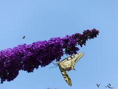 Wobei der Schwalbenschwanz (Papilio machaon) eigentlich das Objekt war