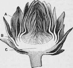 ARTICHOKE-IN-SECTION.jpg (321×299)