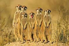 Where Do Meerkats Live   Animal Father Pictures - Animal Wallpapers - National Geographic / Always got to be that one in th whole bunch lol