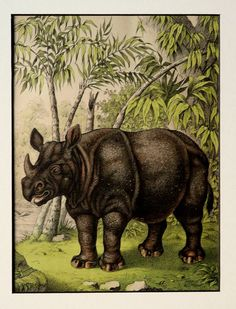 1886 Antique RHINOCEROS matted print by AntiquePrintsOnly