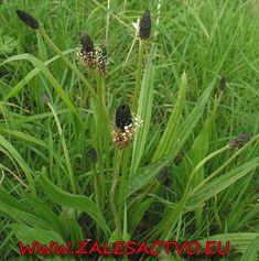Ribwort Plantain- a weed found in almost everyone's yard! Can be used to treat just about everything! Check out its medicinal uses! Nordic Interior, Korn, Kuroko, Healthy Drinks, Mother Nature, Weed, Natural Remedies, Health Tips, Life Is Good