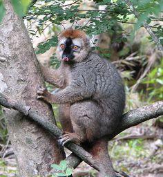 Red Lemur(Eulemur Rufus)