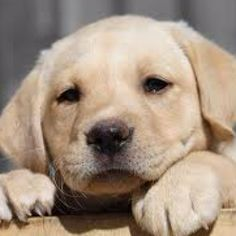 Yellow Lab puppies<3