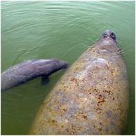 Mote's Manatee Program research studies include photo identification, aerial surveys, genetic sampling and working with our Environmental Laboratory of Forensics to study chemical contaminant levels and the effects of those and other stressors on manatees. It is important to note that all of these efforts are necessary for effective manatee conservation.