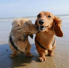 """Get great suggestions on """"dachshund puppies"""". They are offered for you on our web site. Dachshund Funny, Dachshund Puppies, Weenie Dogs, Dachshund Love, Dogs And Puppies, Doggies, Cool Pet Names, Cute Dogs, Cute Puppies"""