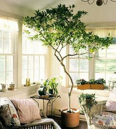 I love this tree in the living room! And the small cottage appeal of this living room in general. Anyone know what type of tree that is? I need it.