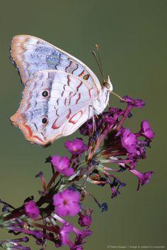 White Peacock butterfly (Anartia jatrophae)