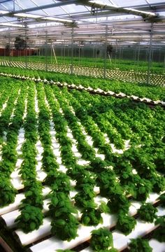 More hydroponic greenhouse basil from Dick and Dee Bee's in PA...