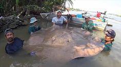 Fishermen land a monster stingray in the Mae Klong River, Thailand.