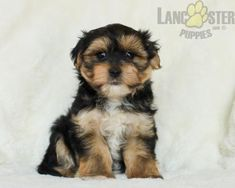 #Morkie #Charming #PinterestPuppies #PuppiesOfPinterest #Puppy #Puppies #Pups #Pup #Funloving #Sweet #PuppyLove #Cute #Cuddly #Adorable #ForTheLoveOfADog #MansBestFriend #Animals #Dog #Pet #Pets #ChildrenFriendly #PuppyandChildren #ChildandPuppy #LancasterPuppies www.LancasterPuppies.com Mans Best Friend, Best Friends, Morkie Puppies For Sale, Lancaster Puppies, Animals Dog, Feeling Lonely, Say Hello, Puppy Love, Pets