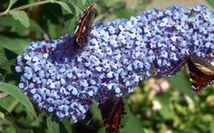 BUZZ™ Sky Blue Butterfly Bush-Compact/Short- Buddleia- Heavy Blooms- Gallon Pot for sale online Dwarf Butterfly Bush, Blue Butterfly, Tall Plants, Live Plants, Pot Plants, Flowering Plants, Small Gardens, Outdoor Gardens, Plant Catalogs