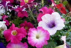 Blog do Meio Ambiente: Flores que gostam de muito sol são opções para jardins em Valadares