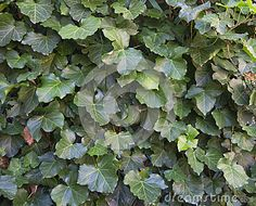 Green ivy leaves on a wall used as background texture