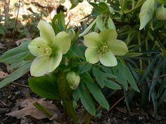 Hellebores.org: Helleborus - I love these beautiful plants!