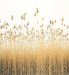 Original art for sale at UGallery.com | Reeds by Mark Yaggie | photography