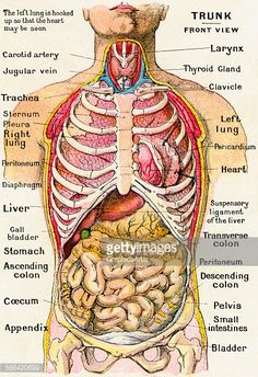 diagram of ribs and organs direct tv dvr wiring human anatomy abdominal with vintage anatomical study the torso frontal view showing picture id566420699 407 594