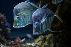 Lookdown fish by Photox0906 via http://ift.tt/2jyC4FC