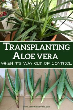If your aloe plant becomes outgrown and it's way out of control, transplanting it to the larger pot is a good idea. Aloe Plant Care, Aloe Vera Plant Indoor, What Is Healthy, How To Stay Healthy, Growing Aloe Vera, Aleo Vera, Best Nutrition Food, Proper Nutrition, Healthy Food
