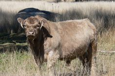 Galloway herd bull - Galloway cattle are the oldest living Scottish breed - about 800 years old.
