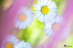 Fraîcheur du printemps by Etienne Francey; photography of a daisied field on canvas, Daisy Flowers, Canvas Art, Spring, Nature, Plants, Photography, Artworks, Lawn And Garden, Naturaleza