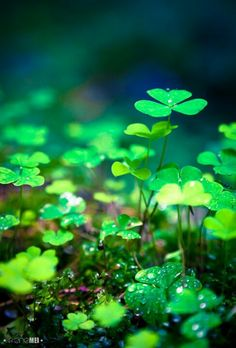 """""""Rain is grace; rain is the sky descending to the earth; without rain, there would be no life."""" - After the Rain - clover in the Carpathian Forest, Ukraine Carpathian Forest, Fuerza Natural, Fotografia Macro, All Nature, Belle Photo, Shades Of Green, Mother Earth, Beautiful World, Beautiful Gardens"""