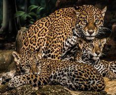 KINGDOMY — Jaguar Family (by Eve'sNature) #BigCatFamily