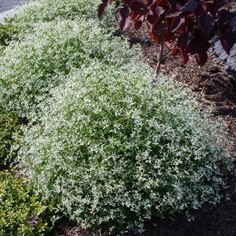 Euphorbia 'Diamond Frost' - Perennials - Avant Gardens Nursery & Design