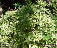 "Malva de cheiro - Pelargonium sp. ""Lady of Plymonth"""