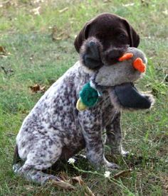 GSP pup - fluffy duck hunter