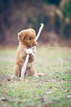 Nova Scotia Duck Tolling Retriever. So cute~~. Image related to: Nova Scotia Duck Tolling Retriever , Small, Toys, Yard, Breeds, Exercise, Walking, Fluffy, Stuff, Paw, Dog And Puppies, DogbreedsDB, Cutest, Photography, Summer