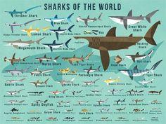 Sharks of the World Canvas Wall Art
