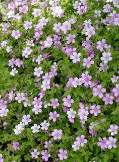 Géraniums tapissants et rampants Géranium d'Endress (Geranium endressii) https://jardinage.ooreka.fr/plante/voir/42/geranium-vivace