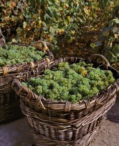 Chardonnay grapes in traditional baskets, Champagne Fallet at Cramant, Côte des Blancs / Champagne, France. Credit: Cephas